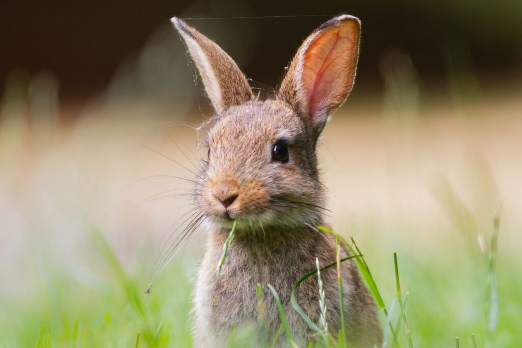 Rabbit sitting up in grass