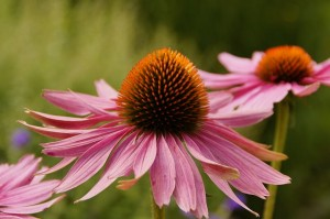 Echinacea scientifically proven to protect against colds