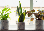 I chose these gorgeous plants for their healing properties. They add a real sense of calm and peace to the room.