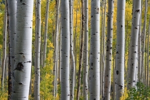rsz_1392526_aspen_trees_in_the_fall.jpg