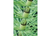 We All Deserve the Opportunity to Grow<br />The Horsetail plant: Strong and Supportive