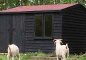 The Therapy Shed - Goats looking on