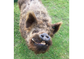Item 2<br />Bear the boar