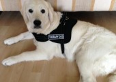 Angel, Therapy Dog in Training
