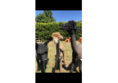 Resident alpacas<br />Derek, Gary and Ian