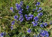 Springtime - Chalk milkwort in May