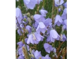 Harebells<br />The harebell, also known as the Scottish bluebell, is beautiful and fragile, yet can thrive in the harshest environment - just like the human spirit.