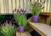 Image shows three pots of lavender on wooden steps up to my counselling room