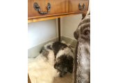 'Talk to the dog' - He loves to sleep under the desk, at Leigh on Sea, if you're happy having him in the room