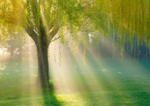 This is a photo of a green weeping willow tree bathing in the sunlight