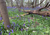 Walk Talk Therapy in Bluebell Woods