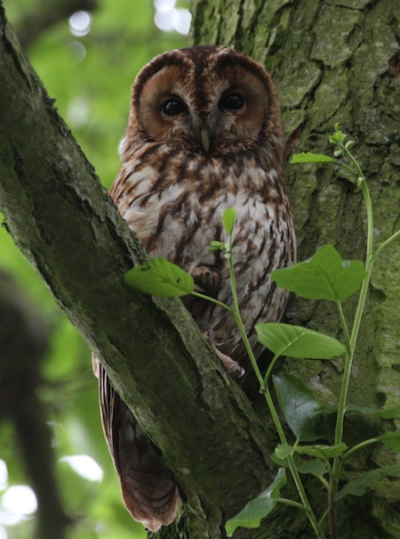 robert%20j%20-%20owl%20in%20tree.jpg