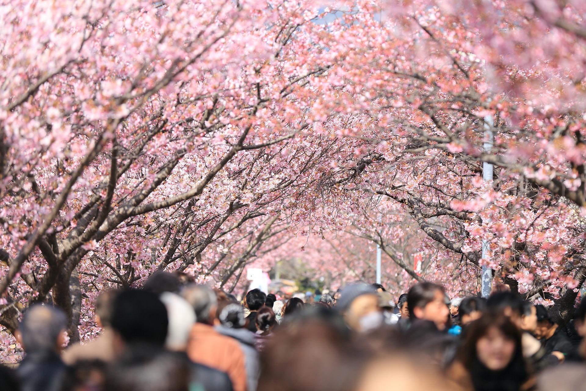 cherry-tree-984545_1920-1579606208.jpg