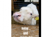 Best Friend Cow Picture