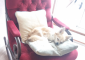 Simba keeps the Hypnotherapy Chair warm for you!