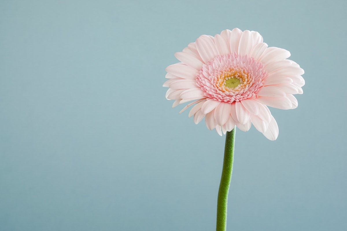 single-pale-pink-flower-infront-of-plain