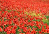 Life Coaching is similar to the way poppies grow...