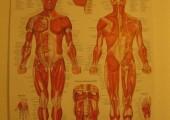 Juvinate Massage Clinic Anatomy Chart
